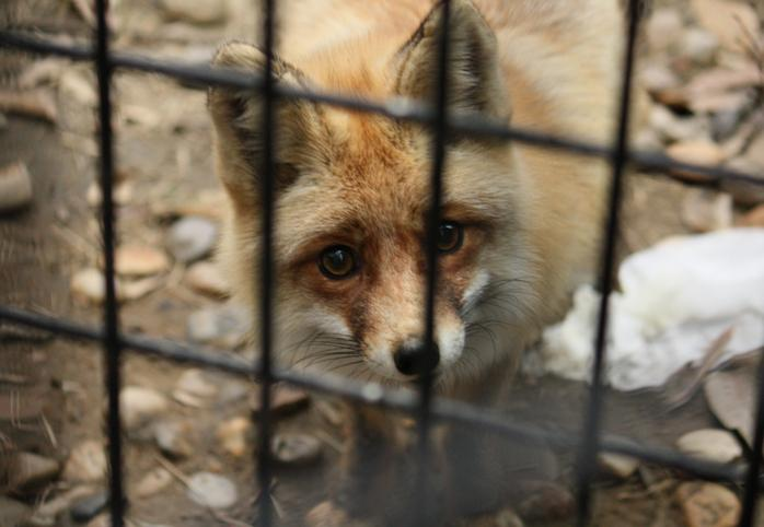 A caged fox
